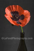 Black-Eyed Poppy