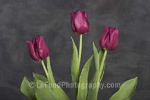 Red Wine Tulips