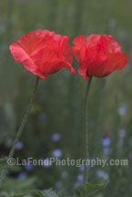 Two Garden Poppies